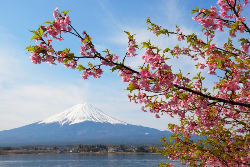 [ 桜 ]