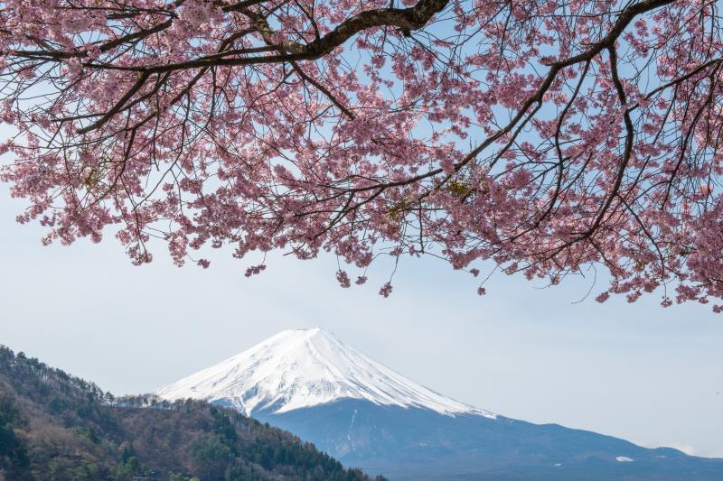 [ ピンクの桜と富士 ]  産屋ヶ崎で見つけたピンク色が印象的な桜。桜の木の前でたくさんの人々がシャッターを切っていました。