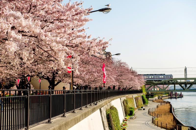 [ 桜並木から登場 ]  電車が桜並木から飛び出してきました。隅田川沿いに桜並木が続いています。
