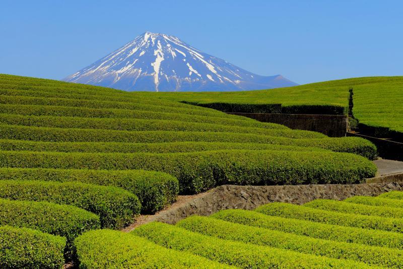 [ 新芽の季節 ]  富士山の前に広大な茶畑が広がっています。流線形の丘が美しい場所でした。