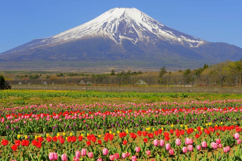 カラフル | 空気が澄んで富士山が特に綺麗に見えた日でした。チューリップの絨毯と残雪の富士を楽しむことができました。