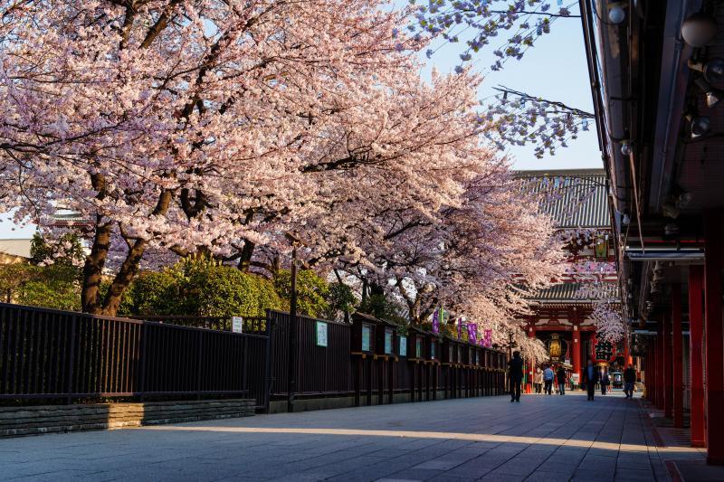 [ 浅草寺の桜並木 ]  仲見世から門に向う道には桜並木があります。早朝は人が少なめで静かに桜鑑賞ができました。