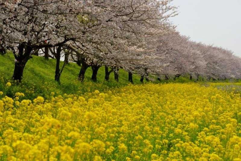 [ 桜並木と黄色い絨毯 ]  1.8kmに及ぶ桜並木。カーブしている場所を選ぶと遠近感のある写真を撮ることができます。