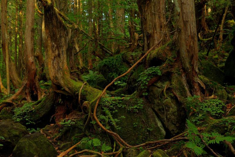 [ 苔むした森 ]  遊歩道は八ヶ岳や屋久島を彷彿とさせる苔むした空間になっています。滝と森の撮影を楽しめるスポット。