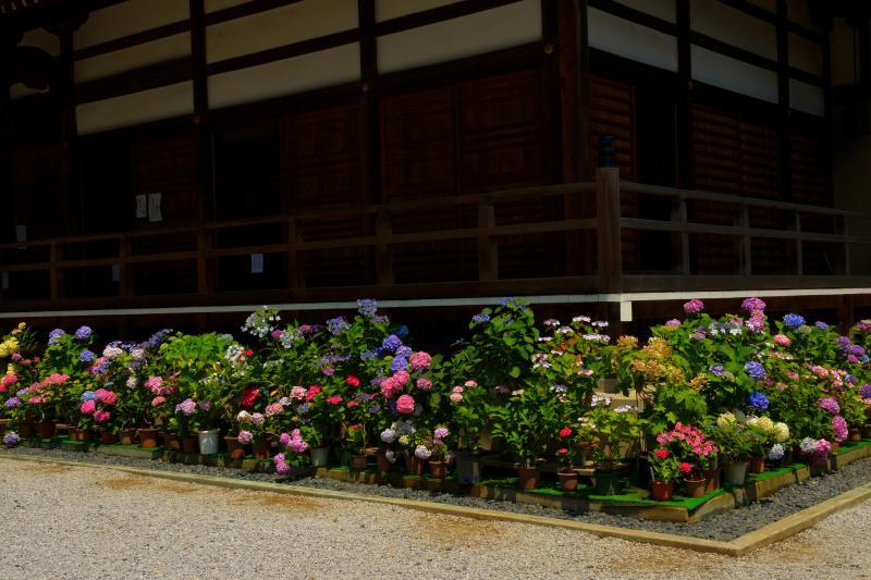 [ 本堂前の紫陽花 ]  本堂前にも紫陽花の鉢植えが並んでいます。