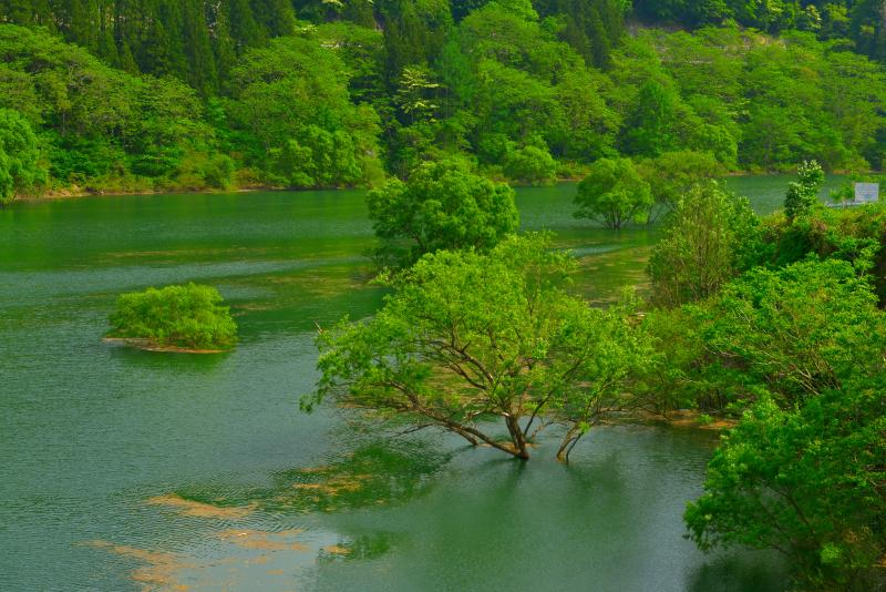 [ 水没する木々 ]  橋の上からダム湖の中に顔を出す木々が見えました。ダム湖らしい風景が広がります。