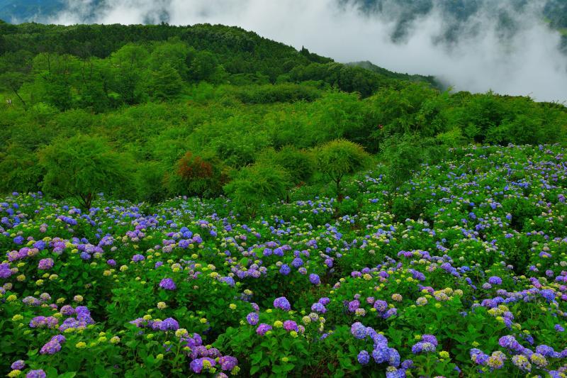 美の山の紫陽花 |
