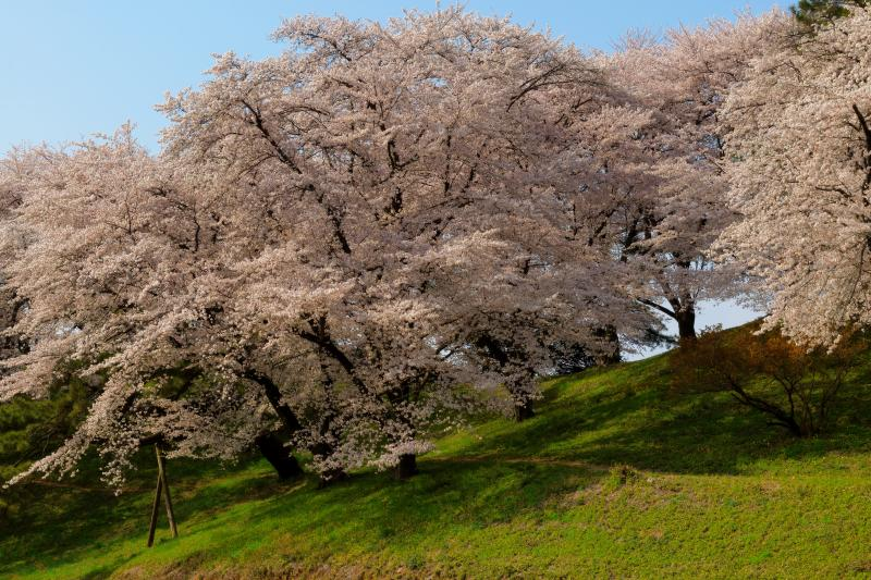 [ 桜の小径 ]  古墳の中には遊歩道があり、空を埋め尽くすような桜の花を楽しむことができます。