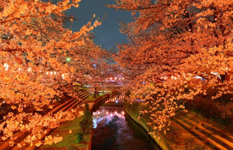 [ 雅 ]  提灯でライトアップされた桜並木が幻想的な空間を創り上げています。