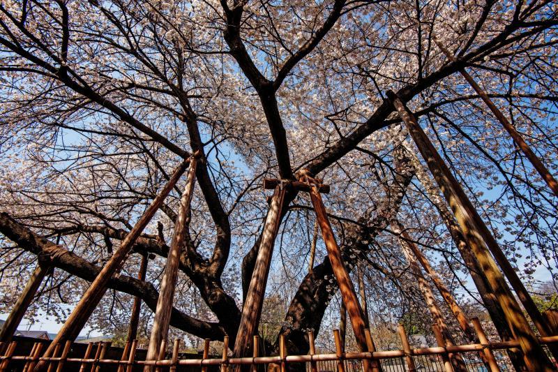 [ 蒲桜を見上げて ]  蒲桜の横に回り、広角レンズで撮影しました。
