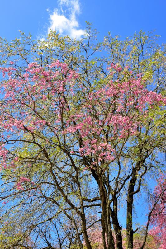 [ 爽快 ]  新緑とピンクの桜が眩しい。青空には時々雲が流れて行きました。