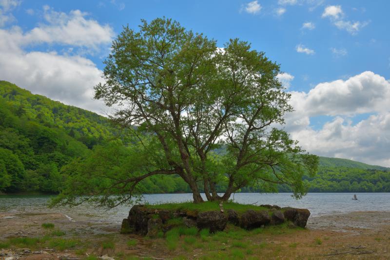 [ 湖畔の一本木 ]  丸沼は大木が多く、木と水の楽園になっています。湖畔には湖のシンボルになっている木があります。