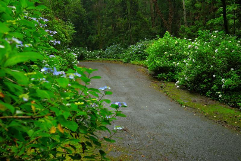 [ あじさいの小路 ]  標高が上がるにつれて、道の両側に紫陽花が咲き誇っています。あじさいの小路の名のとおり、枝が道路まで飛び出すほどです。