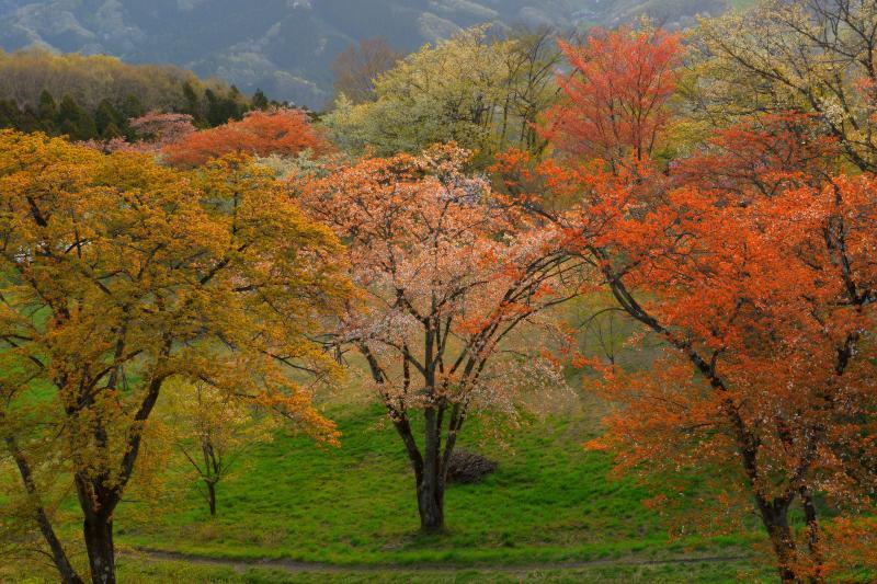 [ 山桜 ]  公園内には様々な色の山桜が咲き乱れ、春と秋が同時に来ているような感覚になりました。
