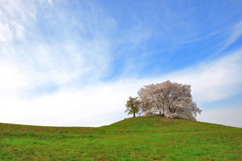 [ 古の丘にて ]  草原の丘の上に立つ桜。湧き立った雲が勢いよく流れていきました。