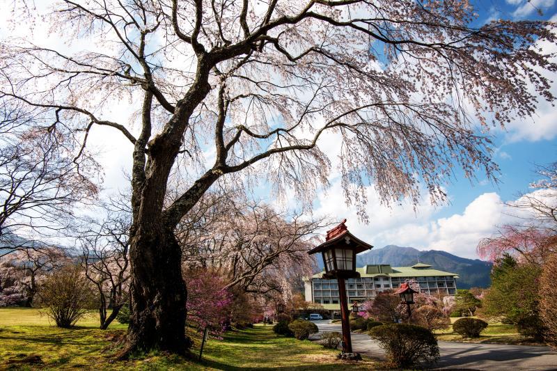 [ 桜の歓迎 ]  敷地の入り口から桜並木が続きます。建物の手前・裏と広大な敷地に桜が咲き誇ります。