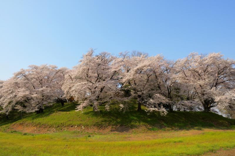 [ 桜溢れる丘 ]  古墳には大きな桜の木がたくさん植えられています。少し離れて見ると桜の島のようです。