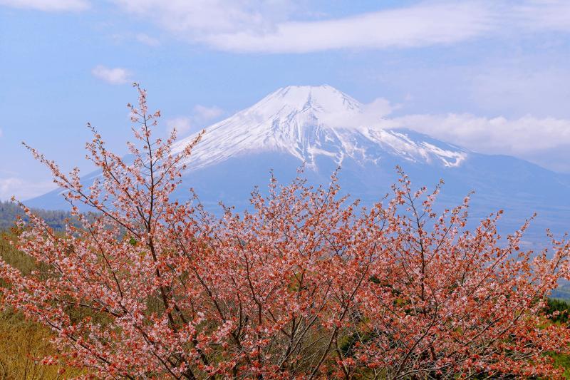 [ 峠の遅き春 ]  二十曲峠の印象的な桜の木です。山桜と富士山が綺麗です。