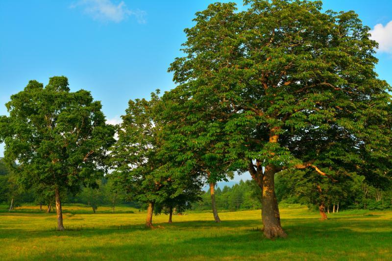 [ カヤの平高原 ]  高原には広い牧草地があり、そこには大きな木々が美しい姿で立っています。