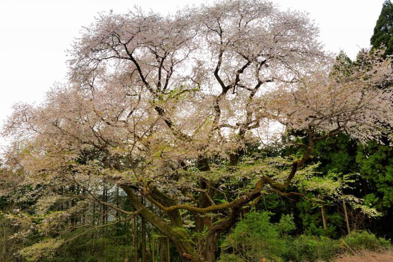 [ 群馬県有数の桜の巨木 ]  樹齢500年以上と言われるエドヒガンの巨木です。満開を過ぎ、下の方は葉桜になり始めていました。