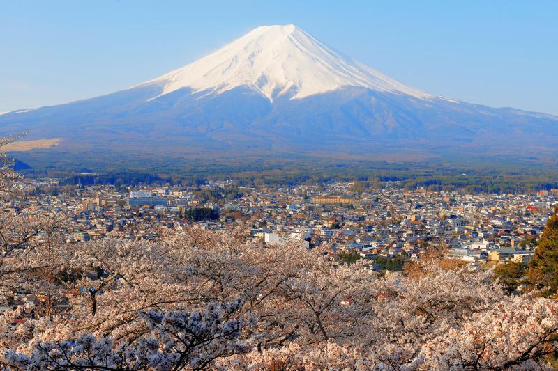 [ 桜溢れる富士吉田の街並みと富士山 ]  朝日を浴びる桜と街並みが美しい。迫力ある残雪の富士山を見ることができます。