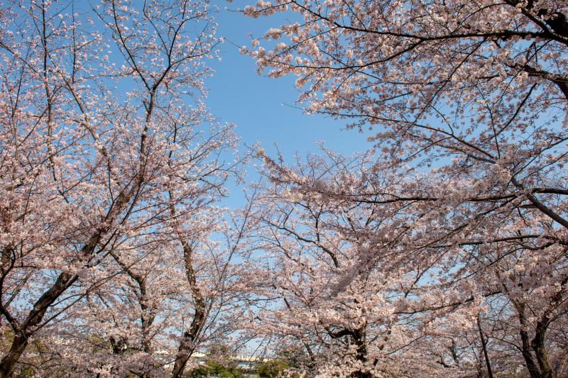 [ 空を埋め尽くし ]  公園内の桜たち。早朝は人が少なく、のんびりとした時間を過ごすことができました。