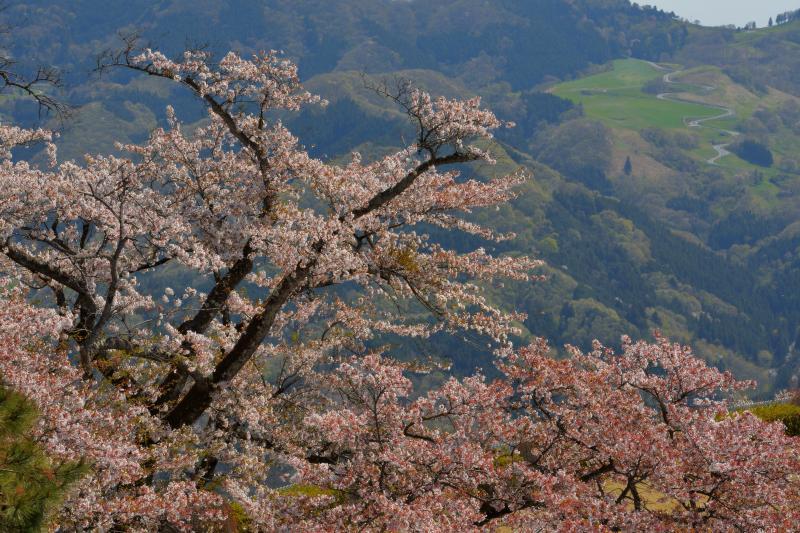 [ 桜と天空のポピー畑 ]  美の山からは秩父高原牧場の天空のポピー畑が見えます。