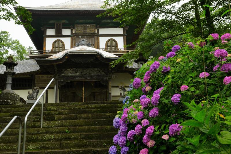 [ さざえ堂と紫陽花 ]  本堂に向かう階段の左右に、紫陽花が咲き乱れています。
