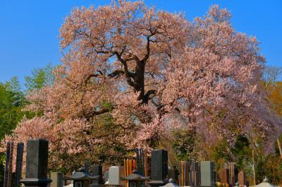 墓守桜| お墓の中に立つ、樹齢200年の古木。樹形が美しく、青空によく映える。