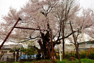 妙義参道で静かに咲く| 妙義山の近くにある樹齢400年以上の古木。昔は妙義神社への参道がこの前を通っており人々の憩いの場になっていた。