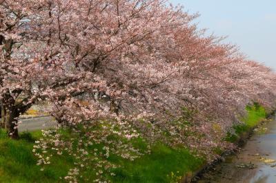 川岸を埋め尽くす桜並木| 土手の上に咲き誇る桜たち。川面に向けて枝を伸ばしています。