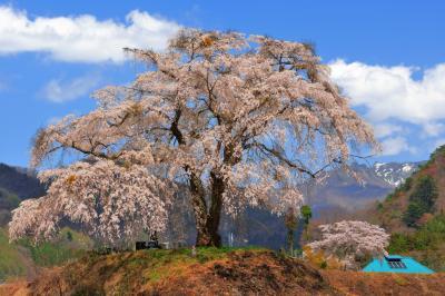 上発知のしだれ桜と残雪の武尊連峰| 山里の田園地帯の高台に立つ孤高の一本桜。百名山のひとつ武尊連峰が見えます。