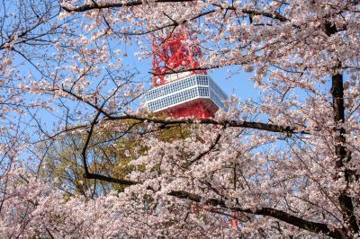 桜の窓から| 東京のシンボル的存在である東京タワー。桜に囲まれてより魅了的な姿に。