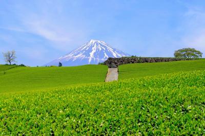 雄大な富士と緑溢れる大地| 新芽が生き生きとした茶畑。その先に残雪の富士が見えます。春らしい雲が流れ、とても美しい風景でした。
