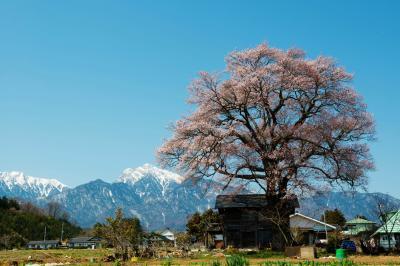 残雪の甲斐駒ケ岳と一本桜| 日本三大桜の山高神代桜のすぐ近くにあります。この景色に目を奪われてしまいました。