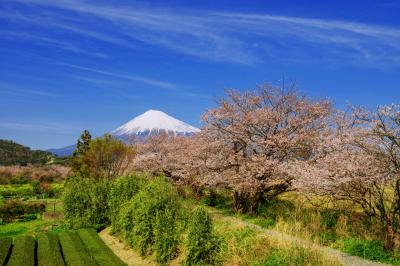 [ 富士へと続く桜道 ]  江戸時代に作られた堤にある桜です。日本の春を感じることができる場所です。