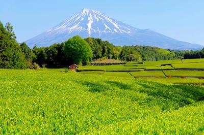 [ 初夏の香り ]  快晴で富士山が良く見えました。新芽のグリーンが美しく、爽快感溢れる写真になりました。