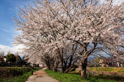 円形ホールの桜並木| 湖畔に続く川沿いの桜並木が美しい。湖畔からは桜と富士山の写真が撮れます。