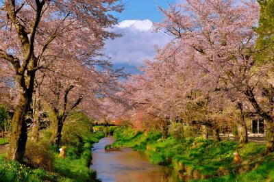 開宴| 桜と富士山の撮影スポットで有名な忍野村の「お宮橋」から撮影しました。 雲に隠れていた富士山が現れると歓喜の声が上がります。