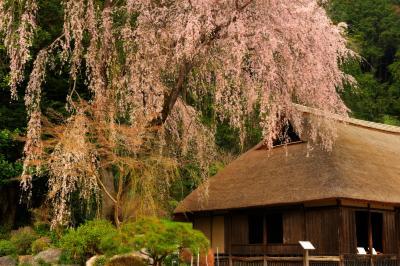古民家を守る大桜| 桜の古木が緑の林の中から、古民家を彩るように伸びています。建物は江戸時代初期のもので、重要文化財になっています。