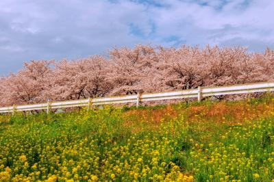 桜堤と菜の花| 約500本のソメイヨシノが2km続いて咲き誇ります。日本さくら名所100選。