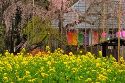 春爛漫| 寺院前には菜の花畑が広がり、境内全体が春色に染まっています。