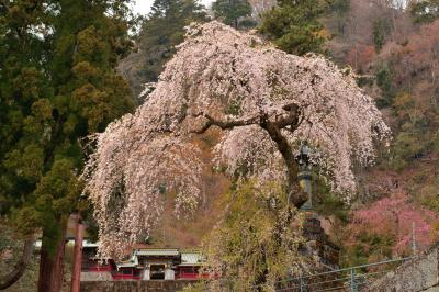 しっとりと咲くしだれ桜| 妙義神社の境内にあるしだれ桜。総門の近くから撮影。