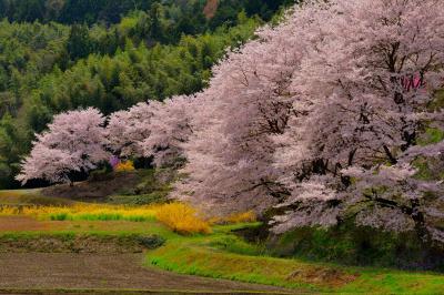 曲線美| 桜並木が美しい曲線を描いています。新緑と色鮮やかな花々が眩しいほどに光輝いています。