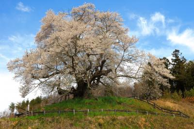 発知の苗代桜| 上発知のシダレザクラの南に位置する群馬県の天然記念物に指定されている古桜。