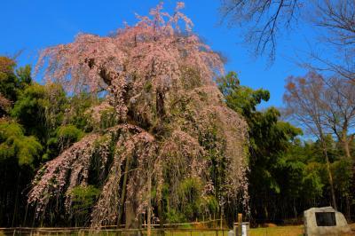 寺の跡地にて| 昔、普門寺のあったこの場所。現在ではしだれ桜の名所として親しまれています。