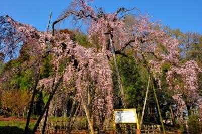 青空に映えて| 1835年の書物「増補忍名所図会」に「広前に大木の垂桜あり、垂縁長くして花の頃は優艶なり」と記された推定樹齢600年の古桜。