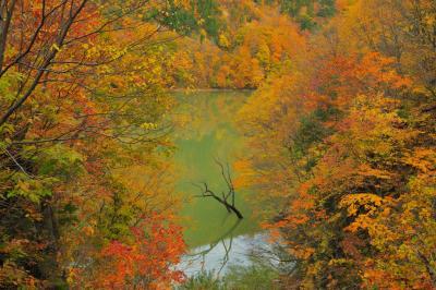 紅葉に佇む立ち枯れ| 燃えるような紅葉に包まれた胴元湖。ダム湖の水面から一本の立ち枯れが顔を出していました。