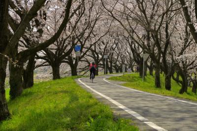 堤の上のサイクリングロード| 堤の上は遊歩道&サイクリングロードになっています。桜並木のカーブを自転車が駆け抜けていきました。