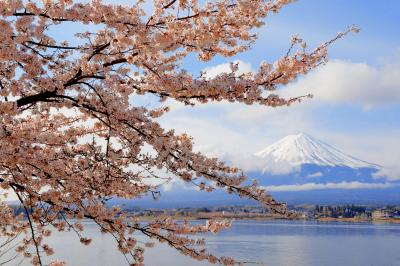 河口湖春景色| 湖畔の形の良い桜の枝。雲が程よく流れ、富士山と桜のコラボレーション写真が撮れました。